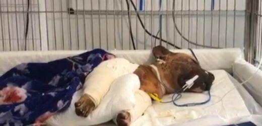 Cachorro salvo de rinha não resiste e morre em consultório (veja o vídeo)