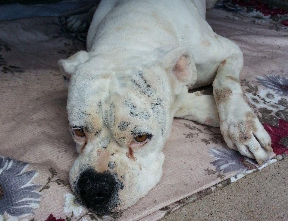 Cachorro com novo coronavírus é sacrificado nos EUA