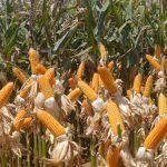 Índice de preços globais de alimentos sobe pelo 3º mês seguido